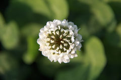 White clover. A white clover and its leaves are green Stock Photo