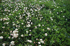 White clover. Just a photo of white clover on the green background Stock Photography