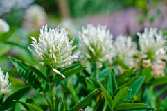 White clover on meadow Royalty Free Stock Photo