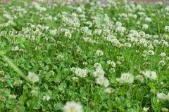 white clover Stock Photo