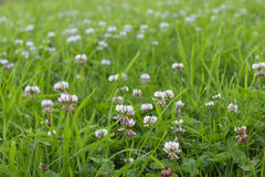 White clover repens. Meadow covered with white clover creeping Stock Photos