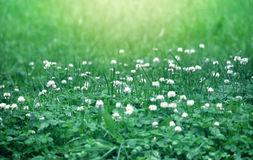 White clover summer background, selective focus. Sunlight royalty free stock images