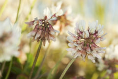 White clover (Trifolium repens) Royalty Free Stock Images