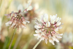 White clover (Trifolium repens) Royalty Free Stock Photography