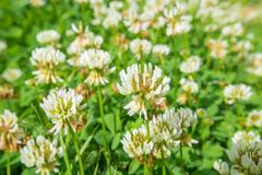 White clover (Trifolium repens) Royalty Free Stock Photo