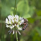 Bee pollinate a flower of white clover Stock Photos