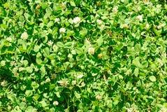 White clover (Trifolium repens). Flower of the clover. Trifolium Repens L. Stock Image