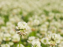 White Clover, Trifolium repens, flower in field macro with bokeh background, selective focus, shallow DOF Royalty Free Stock Photos