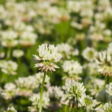 White Clover, Trifolium repens, flower in field macro with bokeh background, selective focus, shallow DOF Stock Photos