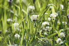 White clover Royalty Free Stock Images