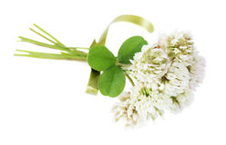 White clover on white background. Ssymbol of the national holiday of the Irish - St Patrick's Day: bouquet of white clover flowers, tied with green ribbon Stock Photos