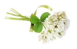 White clover on white background Stock Photos