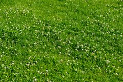 White clover wild meadow flowers in field. Nature vintage summer spring photo background stock photo