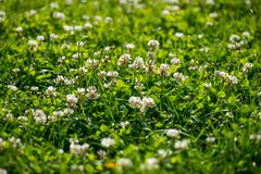 White clover wild meadow flowers in field. Nature vintage summer spring photo background. Selective focus macro shot stock image