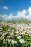 white clover wild meadow flowers in field over deep blue sky. Nature vintage summer autumn outdoor photo. Selective focus macro sh stock photography