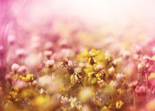 White clover between yellow flowers Royalty Free Stock Image