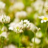 White clower flowers Royalty Free Stock Photos