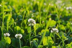 White clower flowers Stock Image