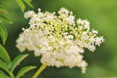 White Cluster Flower Background - Color of Innocence Stock Photo