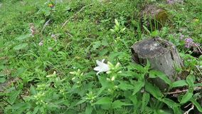 White clustered bellflower Campanula glomerata alba growing in zillertal valley alps.  stock video
