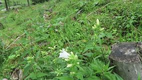 White clustered bellflower Campanula glomerata alba growing in zillertal valley alps.  stock video footage