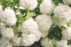 White Clustered Flowers With Green Leaves Stock Photos