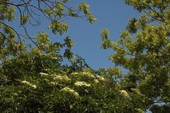WHITE CLUSTERS OF ELDERBERRY FLOWERS ON A TREE AGAINST A BLUE SKY. Image of sunlight on white flower clusters on an Elderberry tree in a garden in summer royalty free stock photography
