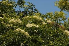 WHITE CLUSTERS OF ELDERBERRY FLOWERS ON A TREE. Image of sunlight on white flower clusters on an Elderberry tree in a garden in summer stock photos