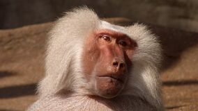 White Coated Baboon Stock Photos