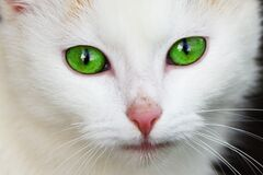 White Coated Cat With Green Eyes stock images