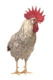 White cock. On a white background Royalty Free Stock Photo