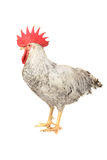 White cock Royalty Free Stock Image