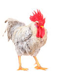 White cock Stock Photography