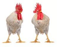 White cock Stock Image