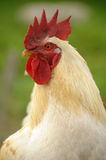 White cock. Big male chicken, red hood and white feathers Stock Photo