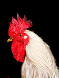 White cock Royalty Free Stock Images