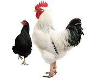 White cock and black hen Royalty Free Stock Photo