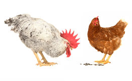 White cock and brown hen Stock Photography