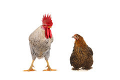 White cock and brown hen Stock Images