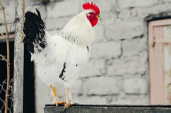White cock on the gate Royalty Free Stock Photo