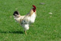White  cock on green grass. Having a walk Stock Photos