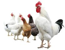 White cock and hens isolated Royalty Free Stock Images