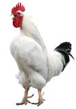 White cock, rooster isolated Stock Image