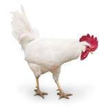 White cock. Walking on a white background. isolated Stock Images