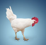 White cock. Walking on a blue background Royalty Free Stock Photos