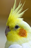 White cockatiel close up Royalty Free Stock Photo