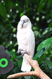 White Cockatoo. The White Cockatoo, Cacatua alba (also known as the Umbrella Cockatoo) is a medium-sized, approximately 46 cm long cockatoo endemic to the royalty free stock images
