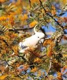 White cockatoo Royalty Free Stock Image
