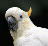 White cockatoo Stock Images