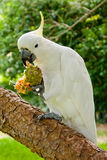 White cockatoo. On a tree Stock Photos